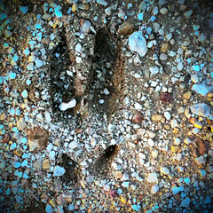 Feral hog track | by Jilroy Frosting Psmith