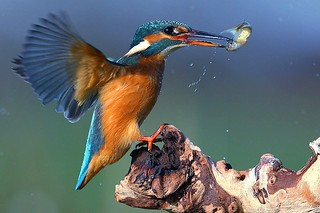 Kingfisher just landing with fish | by Ady G.