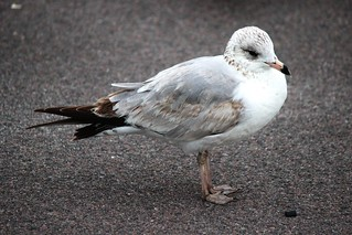 IMG_3616_Gull_with_Brown_Tail