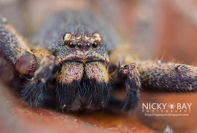 Huntsman Spider (Heteropoda sp.) - DSC_1197