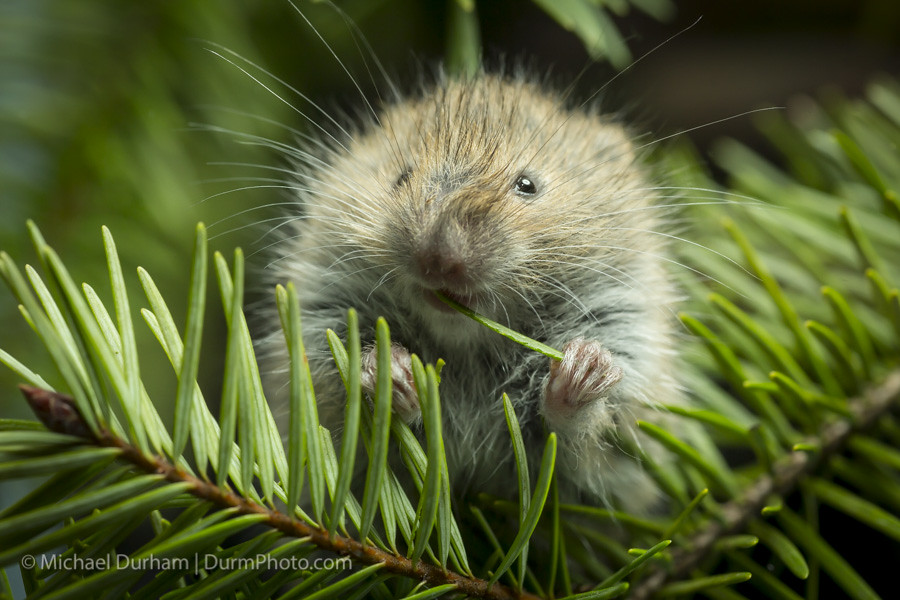 Red Tree Vole
