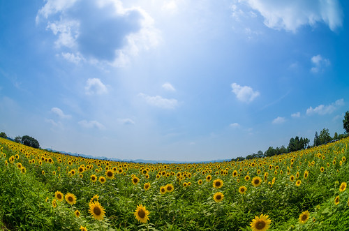 夏空とひまわり畑 2