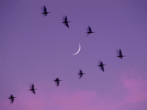 After sunset, moon, 'ghost geese'. | by MistyDaze