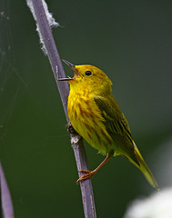 Yellow Warbler | by Doug Lloyd
