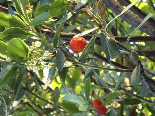Arbutus unedo | by James's GW Blog