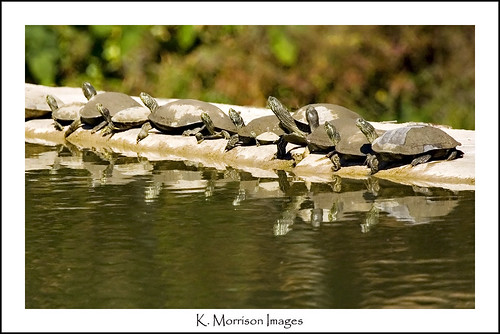 All your ducks (turtles) in a row? | by K Morrison Images