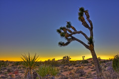 Joshua tree | by Thierry Hennet
