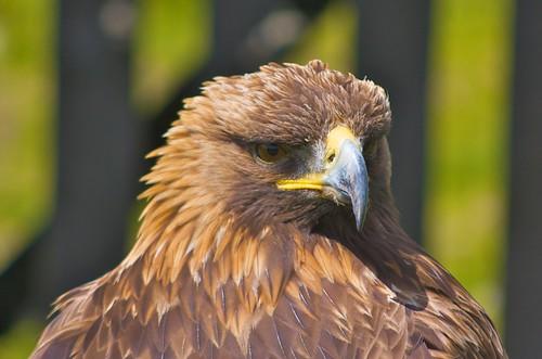 Golden Eagle Dog Food Uk