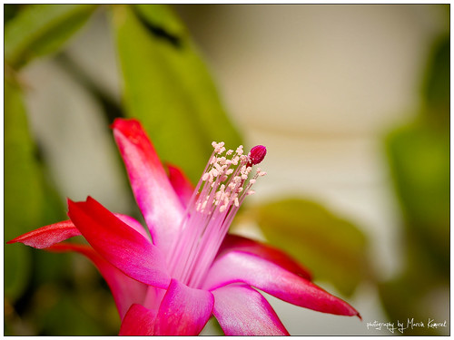Schlumbergera Macro #7 | by fro_Ost
