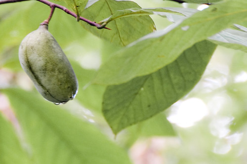 Pawpaw Hanging in a Tree | by starmer