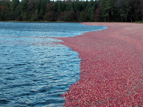 cranberry harvest | by Vilseskogen