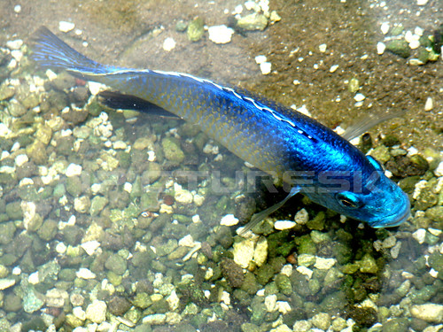 Blue koi incredible natural color the word koi comes for Koi meaning in english