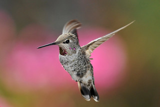 Anna's Hummingbird in Pink | by Edgar Paul Coral