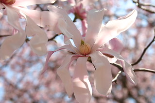 Pink magnolia | by Dan Coulter