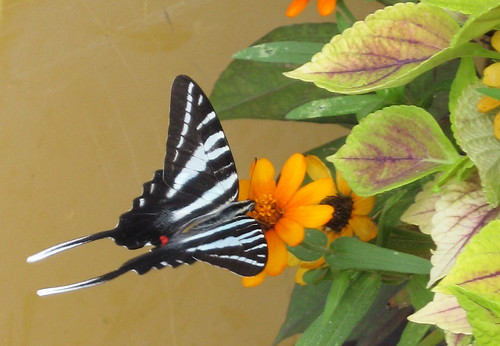 Zebra Swallowtail (Eurytides marcellus) | by poppy2323