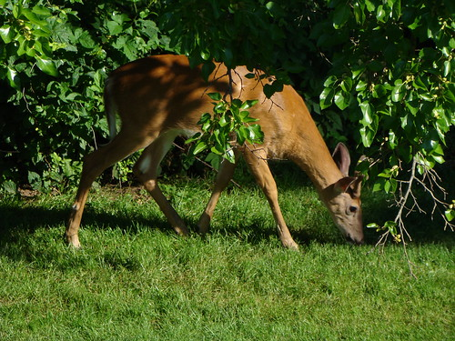 Bambi is back for summer visit | by Free Of The Demon