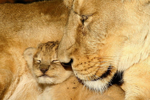 Asiatic Lioness Mother and Cub. | by Brimack