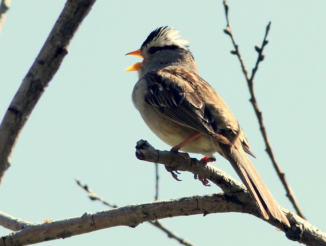 White-crowned Sparrow 3-20110617