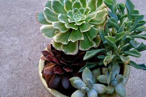 Succulents 2 | by Fern @ Life on the Balcony