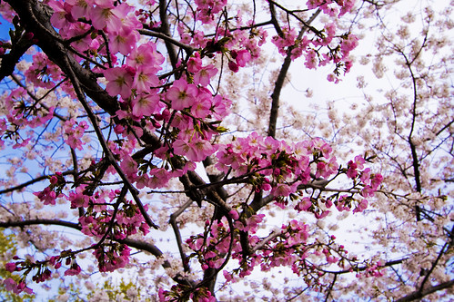 Cherry Blossoms | by Cayusa