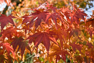 Japanese Maple in Fall | by lokispet