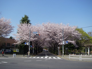 Neighborhood sakura | by Blue Lotus