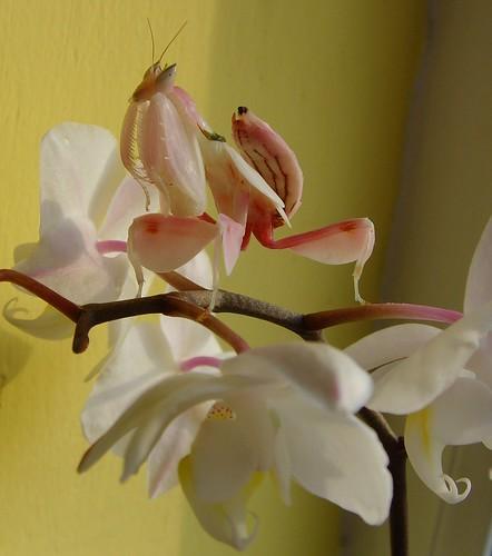 Ochid Mantis