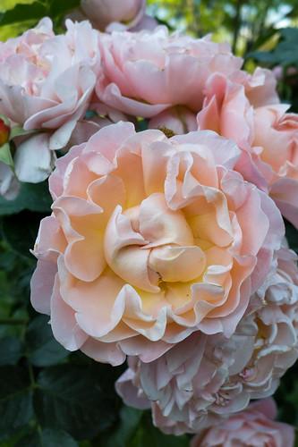 rose marie curie meilland 1996 jardin des plantes grenoble is re france flickr. Black Bedroom Furniture Sets. Home Design Ideas