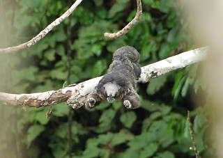 laura by saki Primate ecologist dr laura marsh of the global conservation institute in santa fe, nm, has described five new species of the genus pithecia (saki monkeys) from brazil.