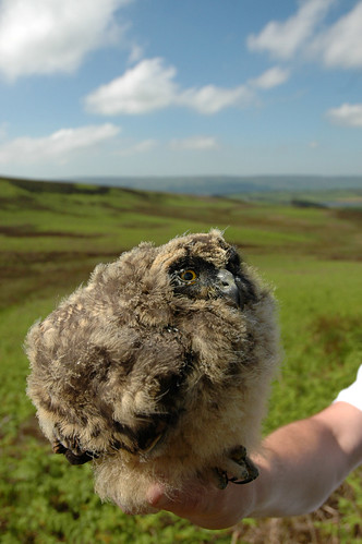 Short-eared owl chick close | by clivenutton