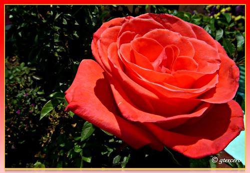 D a de las madres una rosa como s mbolo de amor flickr - Como secar una rosa ...