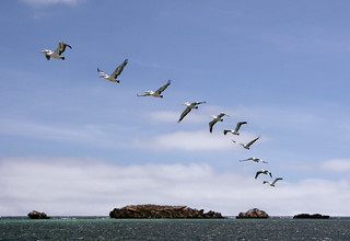 Pelican Island flying sequence | by Craig Wilson Photography