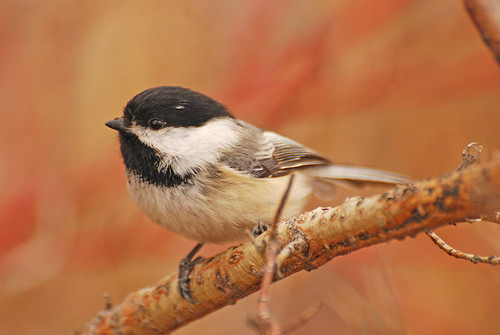 Black-capped Chickadee DSC_0740 | by Ron Kube Photography