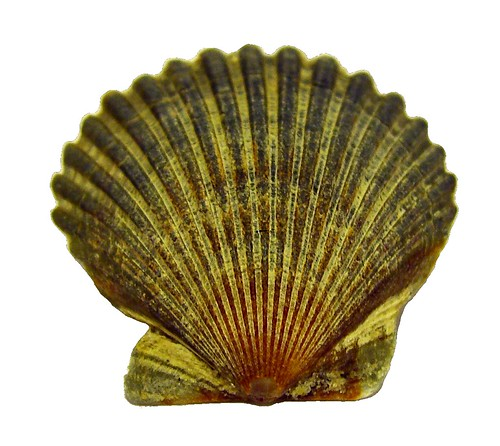 Scallop Shell | by walknboston