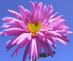 Aster flower astro e 39 una pianta erbacea perenne - Aster pianta ...
