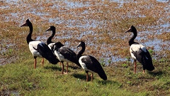 Five geese