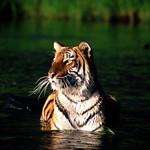 Taking a Dip Bengal Tiger