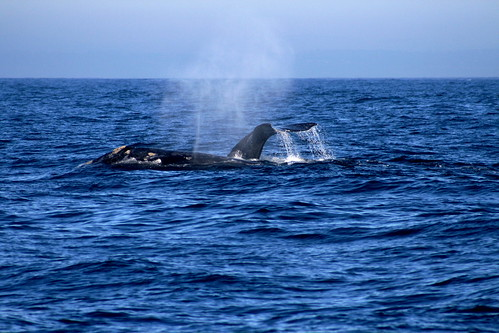 Whale Watching, Monterey CA | by RicAllinson
