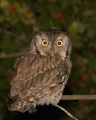 Eastern Screech Owl ~ Gray Morph | by William  Dalton