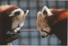 Red Pandas | by Potter Park Zoo