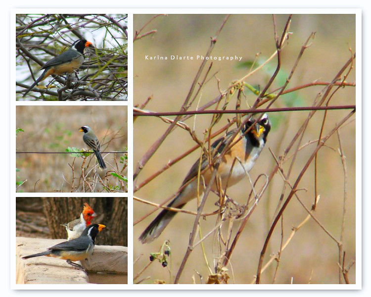 Pepitero Chico / Many-colored Chaco-Finch  --  Pepitero de Collar / Golden-billed Saltator