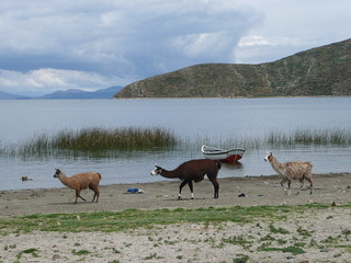 Llamas enjoying a day on the beach at the Isla del Sol, Bolivia | by -Chupacabras-