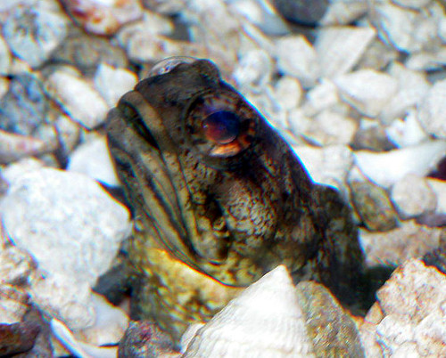Dusky jawfish | by keywest aquarium