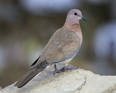Laughing Dove (Streptopelia senegalensis) | by Lip Kee