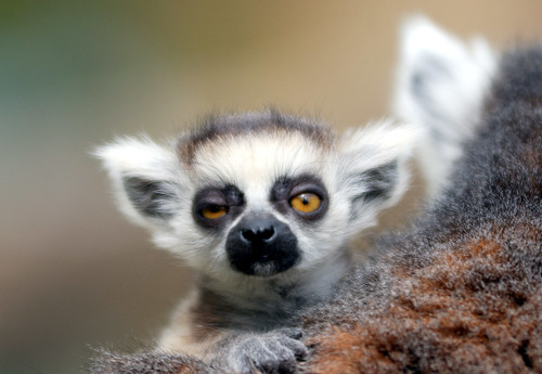 Baby Ring tailed lemur | by floridapfe