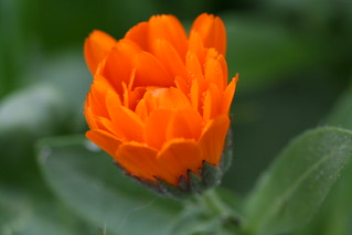 Water on Orange Flower | by Dennis Goedegebuure