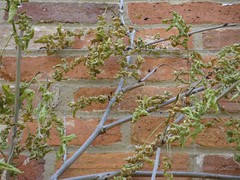 Crispy Leaved Sick Wisteria | by James's GW Blog