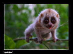Slow Loris | by ‏Abdullah Alashiri