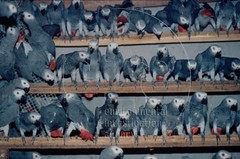 African Grey Parrots | by Environmental Investigation Agency (EIA)