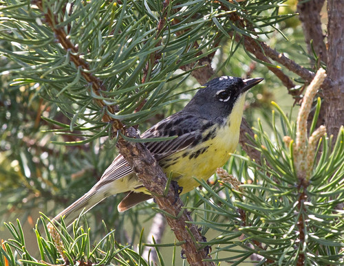 Kirtland's Warbler: Endangered Species Act Success Story!